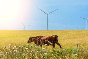 Brown cow on the field and eco power, wind turbines