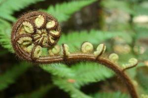 detail of unfolding fern frond
