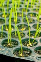 plantas de trigo joven foto