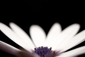 pétalos de flores blancas y moradas sobre negro