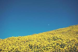 Moon in blue sky above yellow flowers