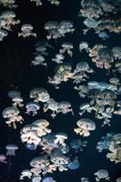 White jellyfish in dark water