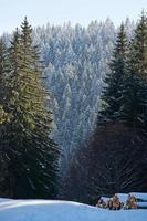 Winter green tree pines