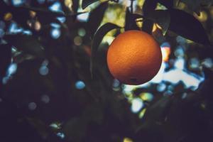 fruta naranja en el árbol
