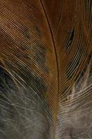 pluma marrón y blanca