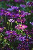Purple trailing African daisies