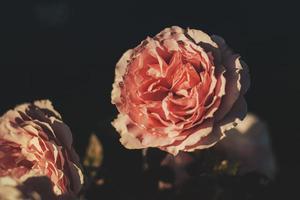rosa rosa en flor