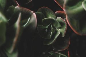 Green and red succulent photo
