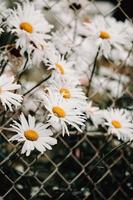 Bunch of daisies near a fence