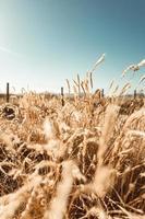 campo de grama de trigo