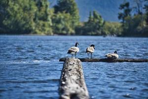 tres patos en el muelle