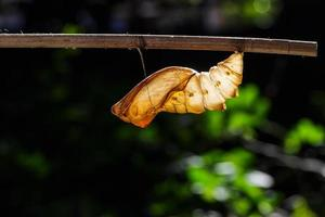 Shell chrysalis of common birdwing butterfly