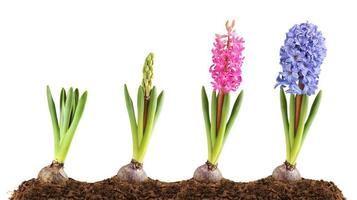 Hyacinth blooming