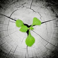 retoño verde que crece desde el tocón de árbol foto