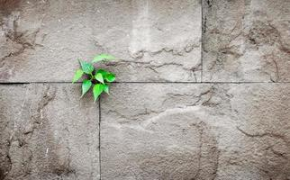 pipal leaf growing through crack in old sand stone wall,