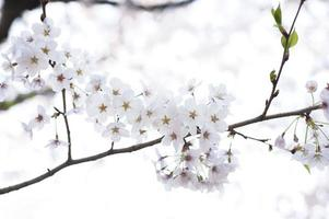 Cherry blossom Image photo