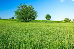 Green grain at hilly landscape