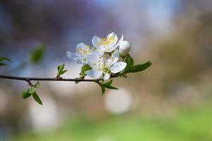 springtime cherry tree