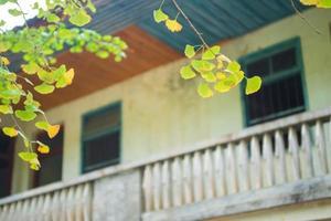 ginkgo amarillo fuera de la casa foto