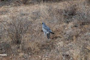 Goshawk photo
