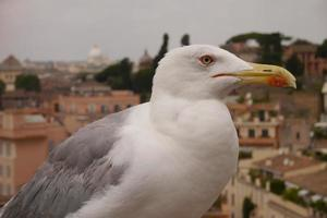 Seagull in front of St. Peter's Basilica photo