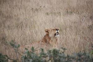 León en la hierba dorada del parque nacional de Etosha, Namibia foto