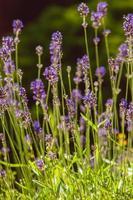 Lavender on rockery