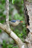 Velvet-fronted Nuthatch (Sitta frontalis) photo