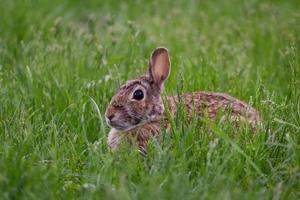 Brown hare laying in green grass