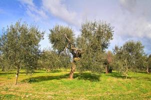 Olive trees. photo