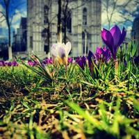 Different crocus (Iridaceae) standing in front of a church
