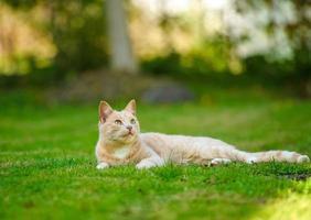 gato ruivo engraçado