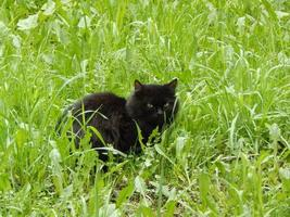 gato negro escondido en la hierba verde. foto