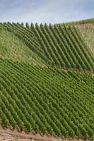 Viñedos bellamente arreglados- laderas de bopparder hamm, valle del rin, alemania