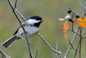 Black-capped Chickadee - Perched photo