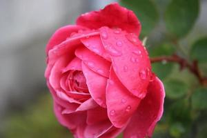 rosa con gotas de agua foto