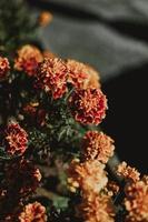 Orange and yellow geranium flowers