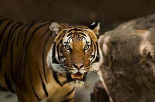 un tigre siberiano