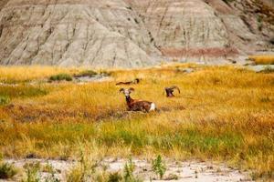 Rams lying in grass