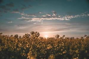 Yellow flower field at sunset