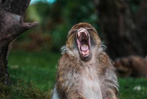 Monkey yawning while sitting on ground