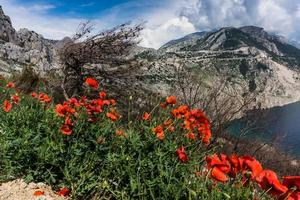 Red poppies beside a body of water