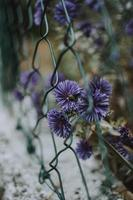 Purple flowers on fence photo