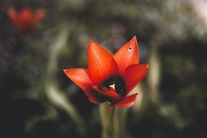 primer plano, de, flor roja