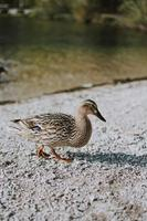 Brown duck on shore