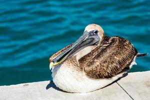 Brown and white pelican on concrete near water