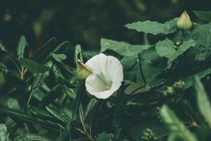 White morning glory flower