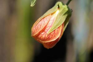 Hibiscus bud close up