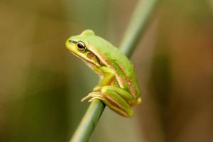 rana verde en el tallo