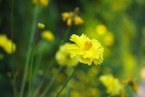 Isolated Marigold flower photo